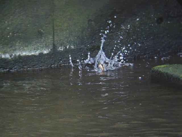 カワセミのダイビング4
